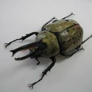 グラントシロカブト 幼虫4頭セット