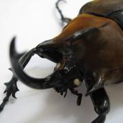 ギアスゾウカブト(ギアス・ギアス)初・2令幼虫3頭セット