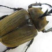 アヌビスゾウカブト 初・2令幼虫4頭セット