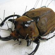 メガソマ ノゲイラ 3令幼虫ペア