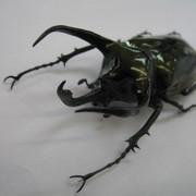 ミンダナオアトラス ♂91ミリ 標本
